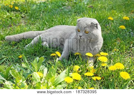 Cute cat lying on grass with dandelions outdoors
