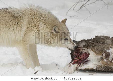 Wolf Eating Part Of Mule Deer
