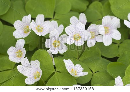 Oxalis acetosella (Woon sorrel) flowers close up shot