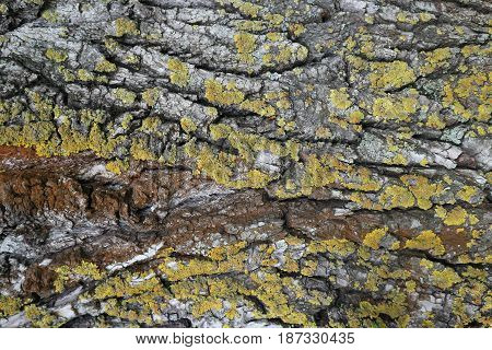 Bark of old tree with green and red moss.