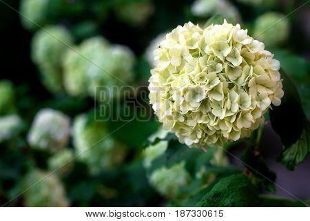 White flowers of viburnum snow ball in spring garden. Guelder rose boule de neige.