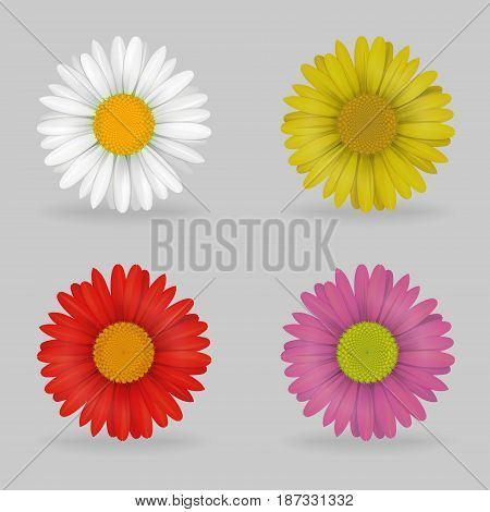 A collection of vibrant multi color lovely daisy chammomile flowers. Realistic close-up look, detailed petals, 4 colour variations.