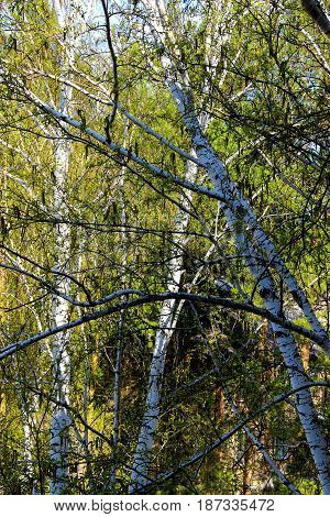 Tall Slender White Birch Trunks With Fresh Leaves