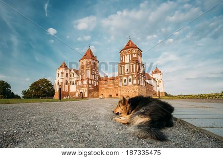 Mir, Belarus. Dog Resting On Ground And View Of Mir Castle Complex On Background. Architectural Ensemble Of Feudalism, Cultural Monument, UNESCO Heritage. Famous Landmark In Summer