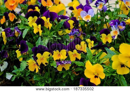 Branch Of Colorful Pansy Flowers On Summer Background