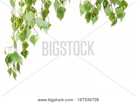 Background of the branches of the birch with young leaves and catkins hanging down left and top on a light background