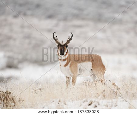 Male Pronghorn in grass and white snow