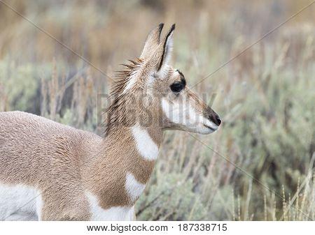 Young Juvenile Female Pronghorn Portrait In Sagebrush
