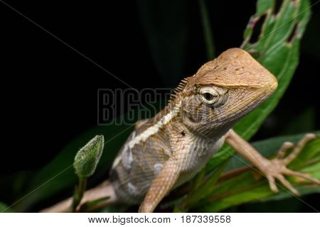Close up Chameleon climbing on bush in the forest