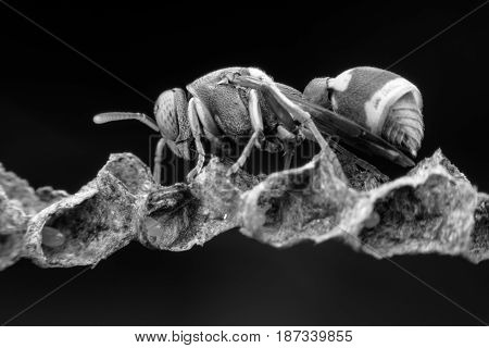 Close up wasp building nest in black and white tone