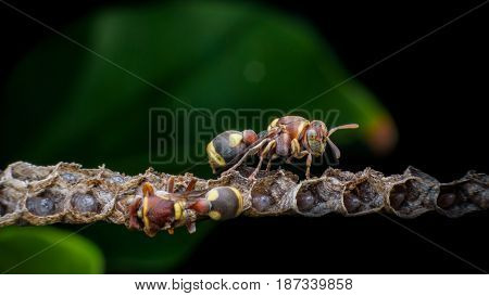 Wasps constructing nest and larvals inside the cells