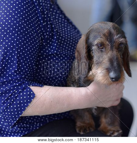Owner with her wire-haired dachshund during the dog show