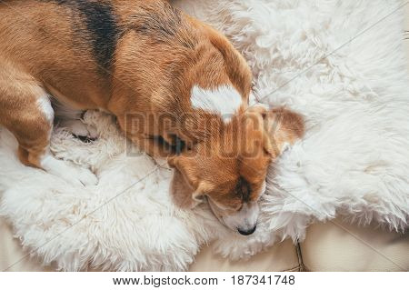 Beagle sleeps peacefully on a sheep's hide