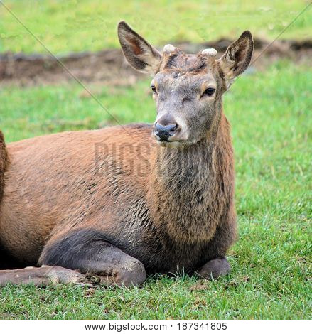 Deer with just starting to grow antlers lying in the grass
