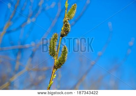Awakening of nature in spring on the sky background. Young leaves and bloom buds on the branches. The green young shoots of trees.