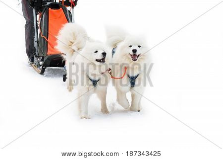 Team of sled breed Samoyeds. Workers siberian dogs of the North to championship. Sports laika animals in the winter.
