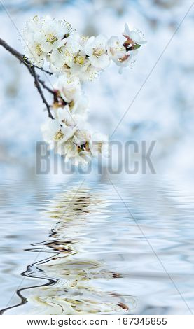 White cherry flowers covered with dew drops against the blue sky reflected in the water surface with small waves