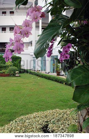 PATTAYA THAILAND - OCTOBER 09 2015: Beautiful purple phalaenopsis orchid in the garden of the modern four-star D Varee Jomtien Beach Hotel in Pattaya Thailand
