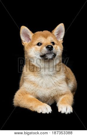 Beautiful brown japanese shiba inu puppy dog lying over black background. Copy space.