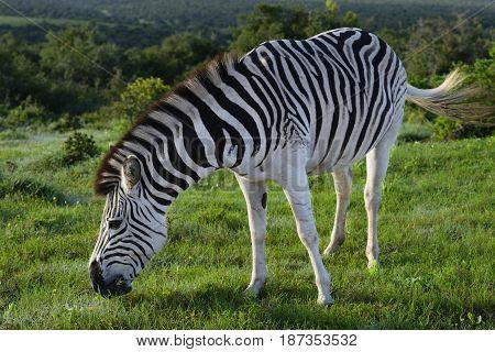 Plains Zebra Foraging In Addo Elephant National Park