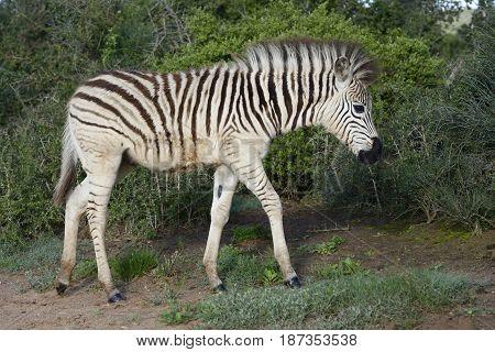Plains Zebra Foal In Addo Elephant National Park