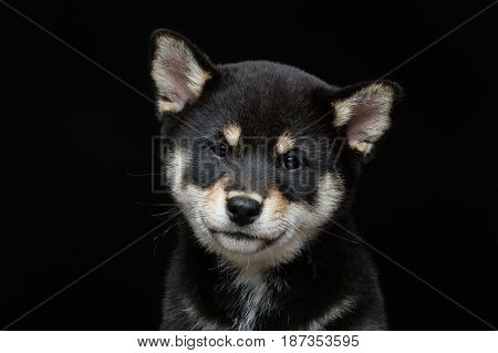 Beautiful black japanese shiba inu puppy dog sitting over black background. Copy space.