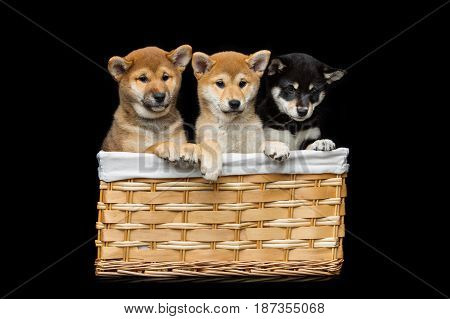 Beautiful three black and brown japanese shiba inu puppy dogs sitting in basket over black background. Copy space.