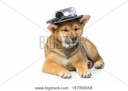 Beautiful brown japanese shiba inu puppy in grey hat dog lying. Isolated on white. Copy space.