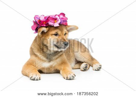 Beautiful brown japanese shiba inu puppy in pink hat dog lying. Isolated on white. Copy space.
