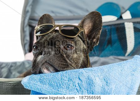 Dog French bulldog lying in a suitcase close-up