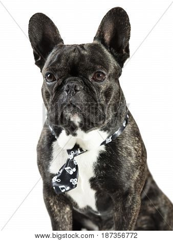 French Bulldog dog in tie on a white background