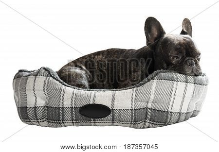 French bulldog lying in bed on white isolated background