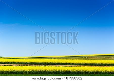Canola Or Colza Or Rape Cultivation Field With Blue Sky
