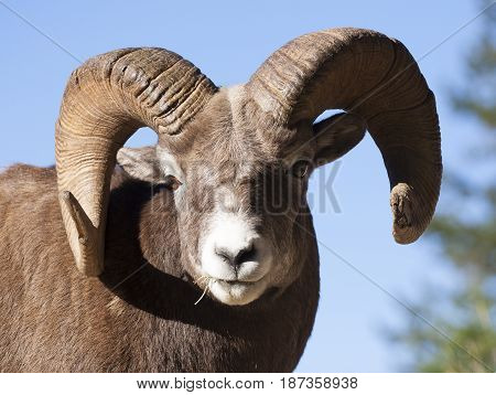 Portrait Of Ram Bighorn Sheep From Front With Blue Sky Background