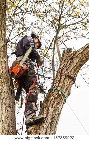 Arborist using a chainsaw to cut a walnut tree. Lumberjack with saw and harness pruning a tree