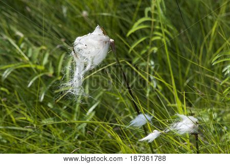 Parachute seeds on green reeds in wetland