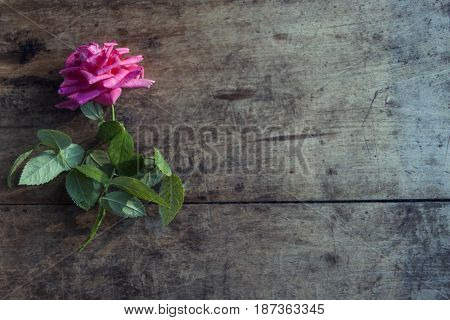 Fresh brigh rose on dark rough wood desk. Nature photo background