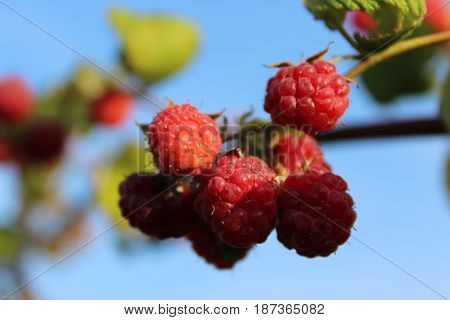 ripe raspberries on a branch with leaves on blue sky background