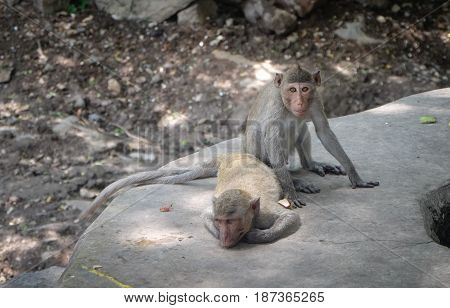 Monkey family, Sacred macaques monkeys,monkey, year of the Monkey