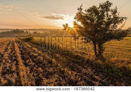 Lonely tree on the foggy field in golden sunrise
