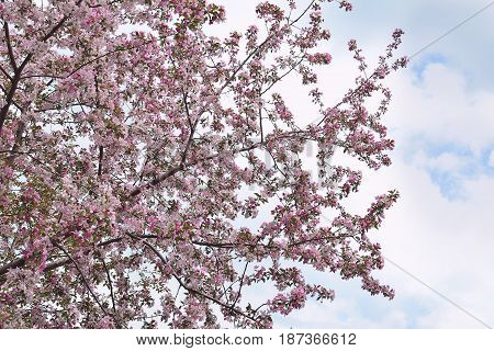Spring blossoming of the cherry tree - twigs with pink flowers on a sky background
