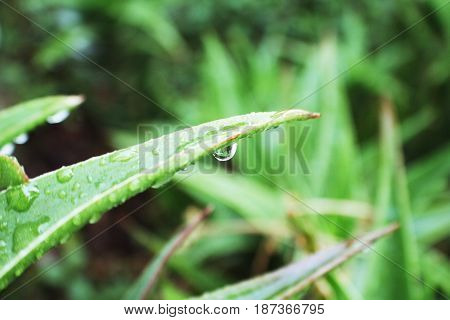 Aloe Vera Plant With Water Drops on It High Quality