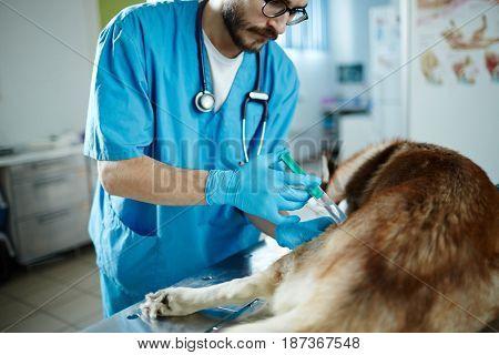 Veterinarian making injection to sick husky dog