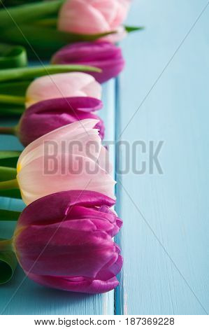 Violet pink tulips on blue wood with copy space. Beautiful flowers background. Bouquet on table, mockup for greeting card