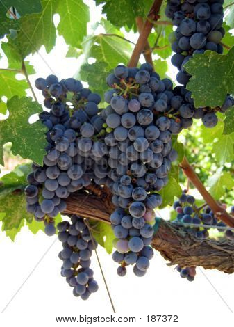 Grapes On The Vine Vertical
