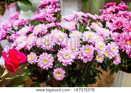 A bouquet of chrysanthemums. Lilac with white. Beautiful fresh flowers. Decorative plot for the decoration of the postcard.