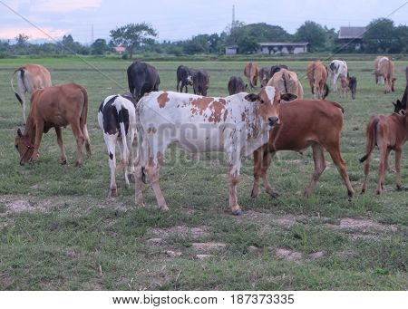 Cows in the Pasture Corral. Herd of cows on the pasture.