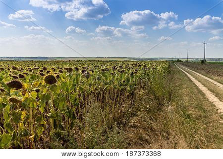 Field Of Sunflowers. Large Clouds. Blue Sky. Road To The Distance.