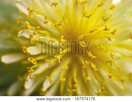 The yellow petals. Little yellow petals of a blossoming flower. Macro. The image is blurred. At the bottom is the lower reddish part of the flower.