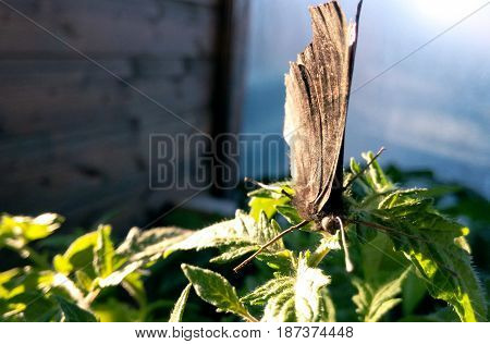 Butterfly brown is basking on green leaves on a sunny day background blurred close-up